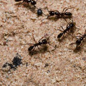 Piège à fourmis